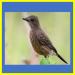ciri ciri burung decu kembang jantan